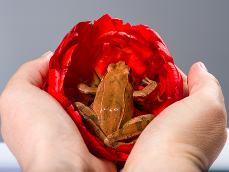 Two Hands holding a Spring Frog (Rana dalmatina) sitting in the wonderful red blossom of a tulip in front of a grey background. photo