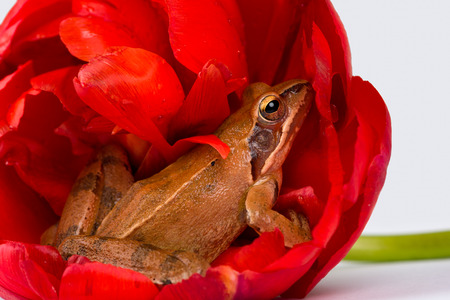 nature conservancy: Spring Frog hiding in the wonderful red blossom of a tulip in front of a white background.