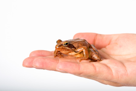 rana: Frog sitting on flat hand, isolated in front of white background. It´s a spring frog (Rana dalmatina).