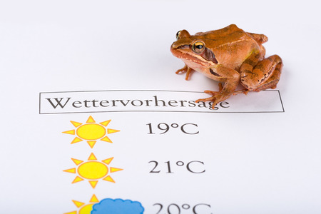 forecaster: Frog as a weather prophet makes the weather forecast, German Version, Temperature in Celsius, Inscription is in German language and means Weather Forecast. It´s a spring frog (Rana dalmatina).