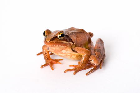 lurk: Frog sitting isolated on white background. It´s a spring frog (Rana dalmatina). Stock Photo