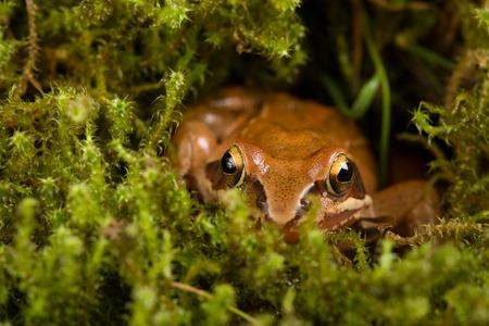 rana: Rana que se sienta en una emboscada en el musgo verde. Es una rana de primavera (Rana dalmatina).