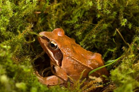lurk: Rana che si siede in agguato sul muschio verde. E 'una rana primavera (Rana dalmatina).