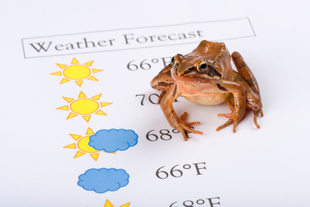 forecaster: Frog as a weather prophet makes the weather forecast, English Version, Temperature in Fahrenheit, It´s a spring frog (Rana dalmatina). Stock Photo