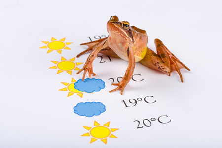 forecaster: Frog as a weather prophet makes the weather forecast, Universal Version, Temperature in Celsius. It´s a spring frog (Rana dalmatina).