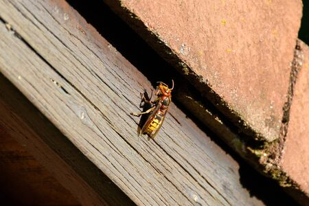 nuisance: Hornet sitting in the sun on a roof top cleaning its antennas.