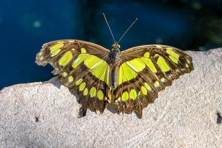 dovetail: European swallowtail ready for take off (Papilio machaon)
