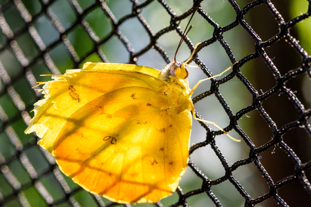 clouded: Pale Clouded Yellow Butterfly (Colias hyale, Goldene Acht) sitting backlit on a chain link fence.