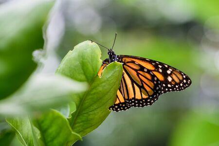 plexippus: Monarch Butterfly (Danaus plexippus) (male) sucking nectar on a flower