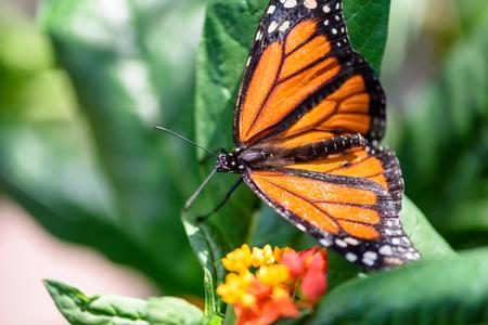 danaus: Monarch Butterfly (Danaus plexippus) (male) sucking nectar on a flower