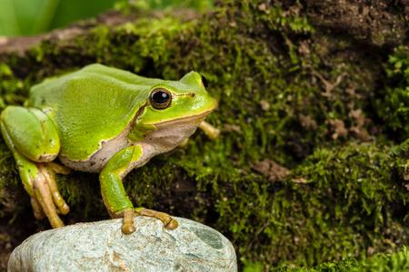 lurk: European green tree frog Hyla arborea formerly Rana arborea lurking for prey in Natural Environment Stock Photo