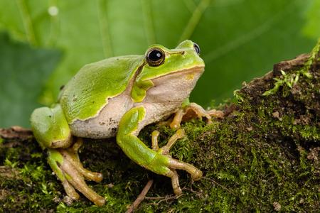 자연 환경에서 먹이 숨어 유럽 이전에 녹색 나무 개구리 hyla의 Arborea의 모이 Arborea의
