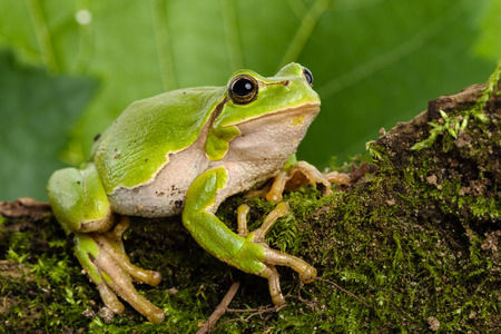 European green tree frog Hyla arborea formerly Rana arborea lurking for prey in Natural Environment Foto de archivo