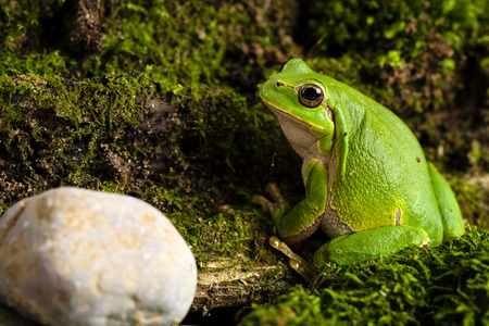 lurk: European green tree frog Hyla arborea formerly Rana arborea lurking for prey in Natural Environment Archivio Fotografico