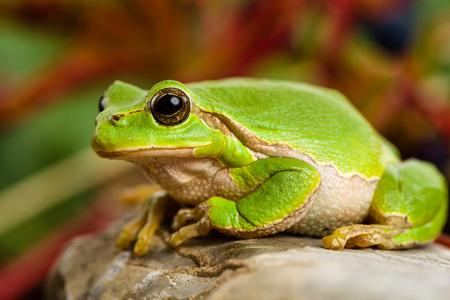 hyla: European green tree frog Hyla arborea formerly Rana arborea lurking for prey in Natural Environment Stock Photo