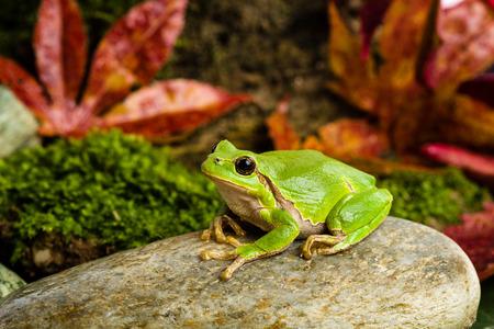 European green tree frog Hyla arborea formerly Rana arborea lurking for prey in Natural Environment Stok Fotoğraf