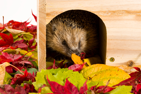 Hedgehog leaving its wooden house surrounded by autumn leaves