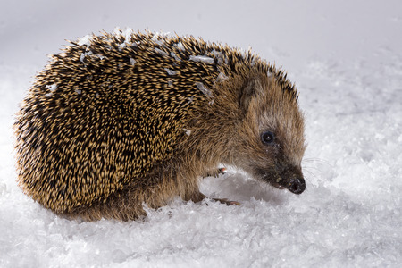 Poor, little hedgehog woke up in winter and is searching for fodder in the snow