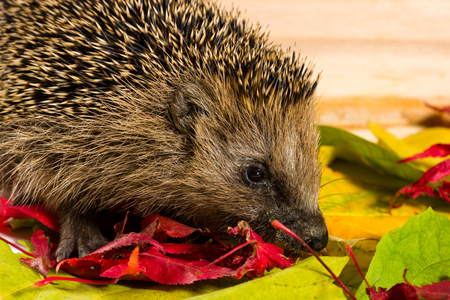 searching for: Hedgehog searching for fodder on autumn leaves.