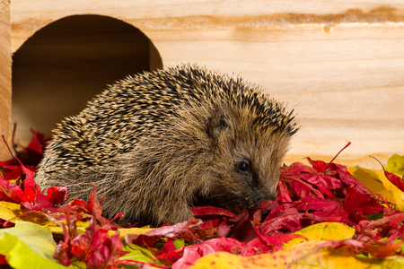Hedgehog sitting on autumn leaves and eating some minced meat.