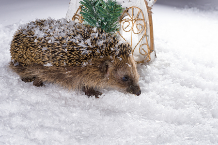 fodder: Poor, little hedgehog woke up in winter and is searching for fodder in the snow
