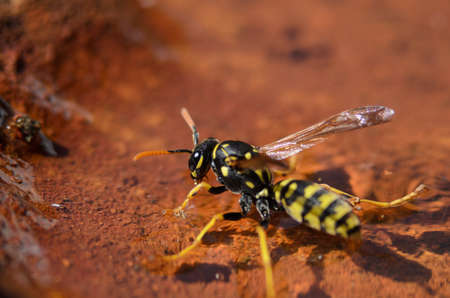 levitate: Wasp hovering on water and refueling in summer heat
