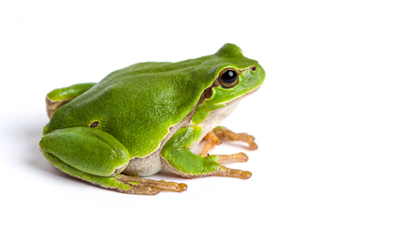 European green tree frog (Hyla arborea formerly Rana arborea) isolated on white