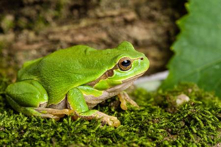 lurking: European green tree frog (Hyla arborea formerly Rana arborea) lurking for prey in natural environment