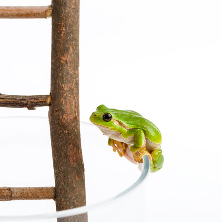 green tree frog: Green tree frog looking on wooden ladder on its way up