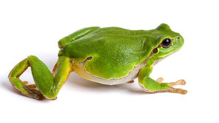 lurk: European green tree frog (Hyla arborea formerly Rana arborea) walking isolated on white