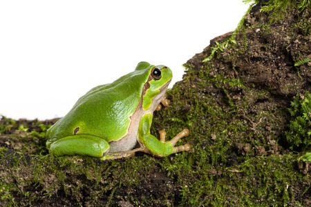 moos: European green tree frog sitting on piece of moos isolated in front of white background