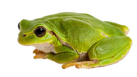 lurking: European green tree frog Hyla arborea formerly Rana arborea isolated on white