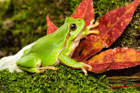 green tree frog: European green tree frog Hyla arborea formerly Rana arborea lurking for prey in Natural Environment Stock Photo