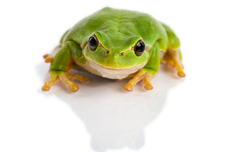 lurk: European green tree frog Hyla arborea formerly Rana arborea isolated on white