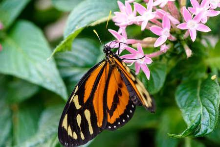plexippus: Monarch Butterfly Danaus plexippus male sucking nectar on a flower