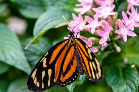 danaus: Monarch Butterfly Danaus plexippus male sucking nectar on a flower