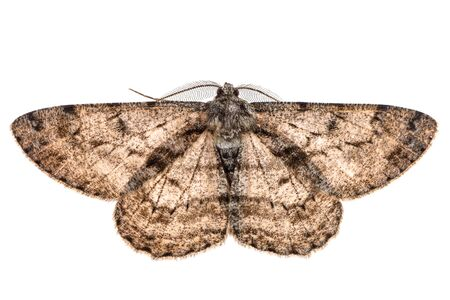 Moth with outspread wings isolated on white.
