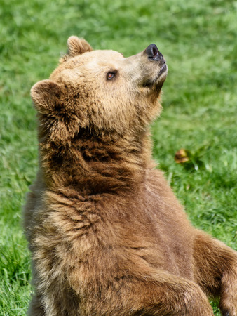 snoop: Brown Bear (Ursus arctos) sitting in the grass and sniffing in the air