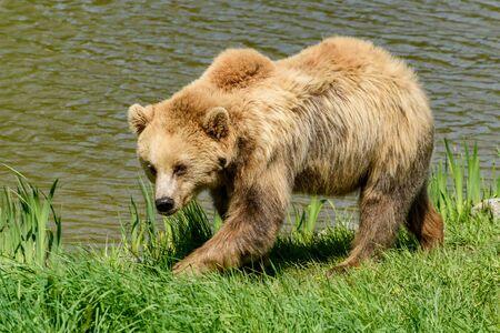 snoop: Brown Bear (Ursus arctos) walking along a riverside