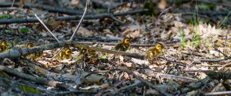 undergrowth: Duck chicks wandering through the undergrowth Stock Photo