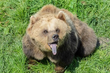 snoop: Brown Bear (Ursus arctos) sitting in the grass and showing its tongue