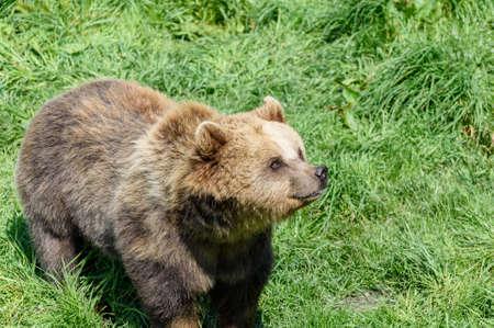 snoop: Brown Bear (Ursus arctos) watching the honey pot Stock Photo