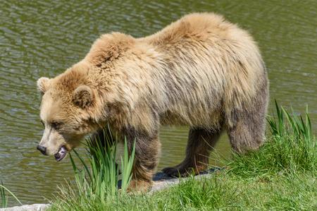 arctos: Brown Bear (Ursus arctos) walking along a riverside