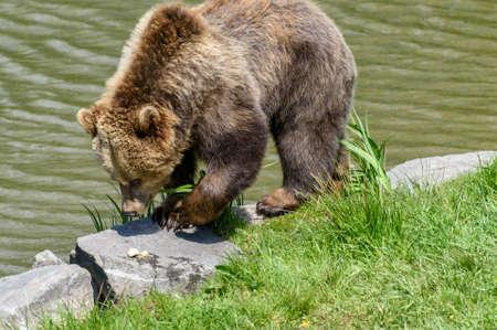 snoop: Brown Bear (Ursus arctos) discovering apple pieces on a riverbank