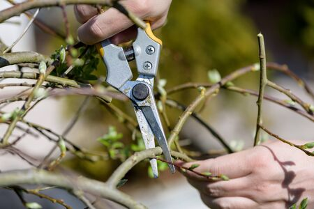 Close up view of two hands using a trimmer to trim a tree in spring. Stock Photo