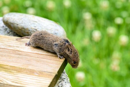 Field mouse on a wooden board in the garden searching its way downstairs