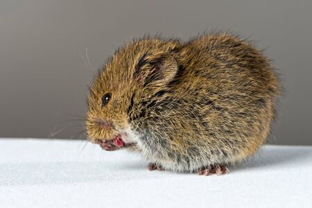 oneself: Close up on wild brown field mouse licking its hands. Stock Photo