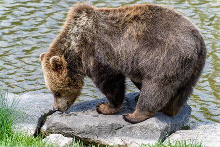Brown Bear (Ursus arctos) licking feed