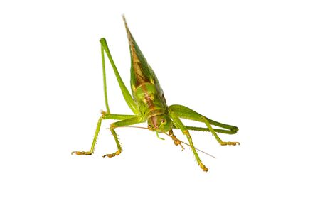 Grasshopper cleaning its feeler, isolated on white. Stock Photo