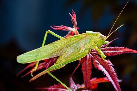 Green grasshopper sleeping at night on red maple tree. Stock Photo